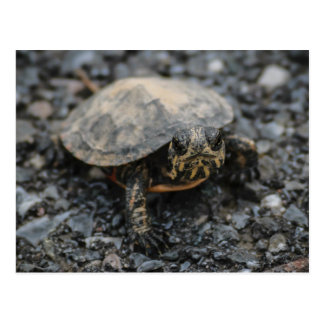 Baby Box Turtle Postcard