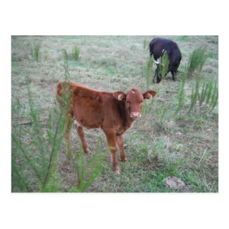 Baby Brown Cow . Postcard