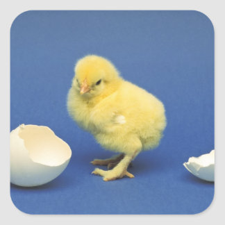 Baby chick square sticker