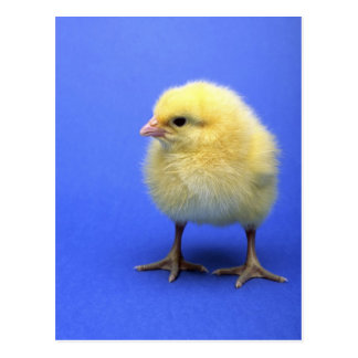 Baby chicken. postcard