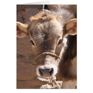 Baby Cow - Brown Baby Calf Close Up Face Card
