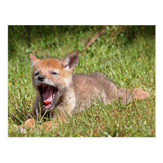 Baby Coyote Yawning Postcards