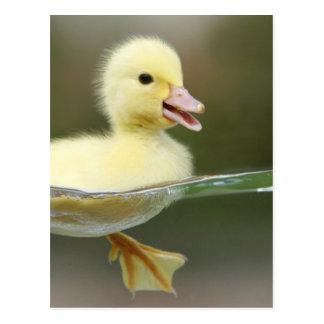 baby duck swimming cute postcard