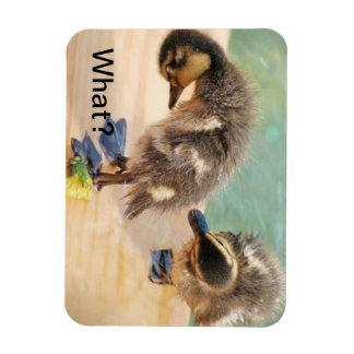 Baby Ducks looking at What? Magnet