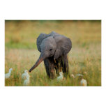 Baby Elephant and Birds Poster