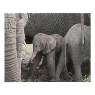Baby elephant is standing and wobbly poster