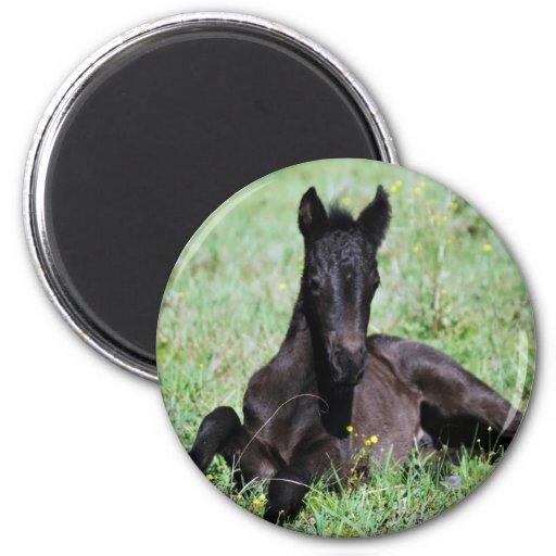 Baby foal lying in the meadow magnet