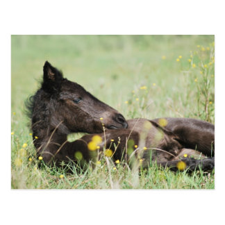 Baby foal lying in the meadow post cards