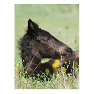 Baby foal lying in the meadow post card