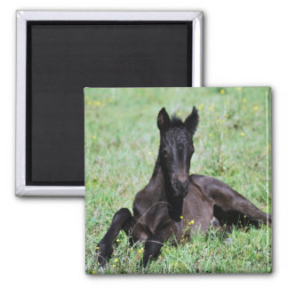 Baby foal lying in the meadow square magnet