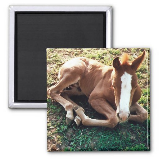 Baby foal Magnet Horse