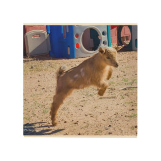 Baby Goat Jumping Wood Canvases
