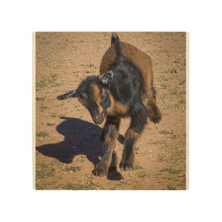 Baby Goat Leaping in the Air Wood Canvases