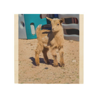 Baby Goat on Wood Wood Print