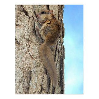 Baby Gray Squirrel Postcard