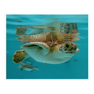 Baby Green Sea Turtle Postcard