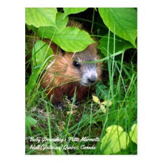 Baby Groundhog Petite Marmotte Spring in Canada Postcard