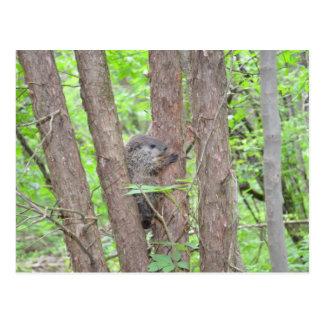 Baby Groundhog Postcard