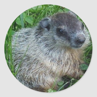 Baby Groundhog Sticker