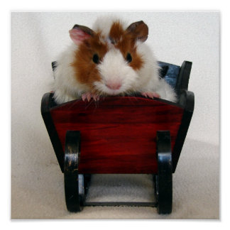 Baby Guinea Pig in Sleigh Poster