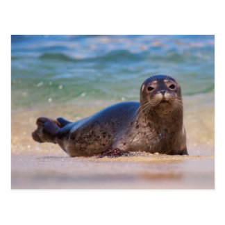 Baby Harbor Seal in Water Postcard