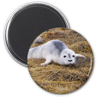 Baby Harbor Seal Magnet Magnets