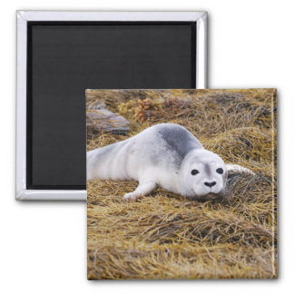 Baby Harbor Seal Magnet Magnet