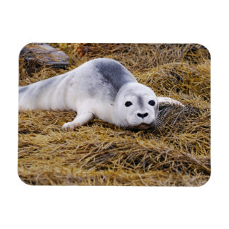 Baby Harbor Seal Premium Magnet Magnet