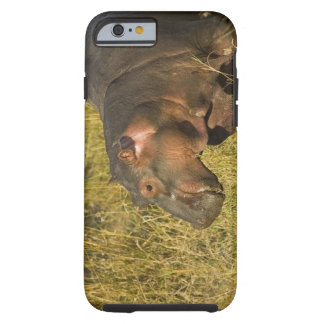 Baby Hippo out of water away from adults along Tough iPhone 6 Case
