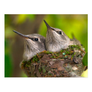Baby hummingbirds postcard