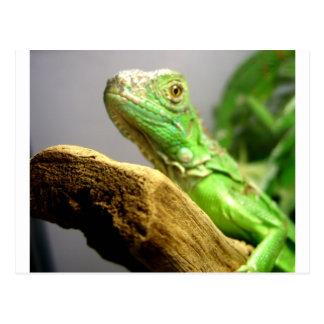 Baby Iguana Postcard