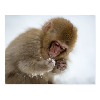 Baby Japanese Macaque   Snow Monkey Postcard