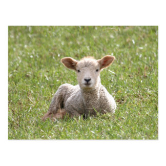 Baby Lamb Postcard