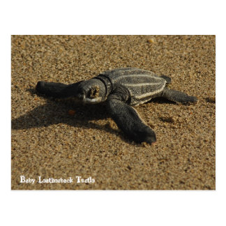 Baby Leatherback Turtle Postcard