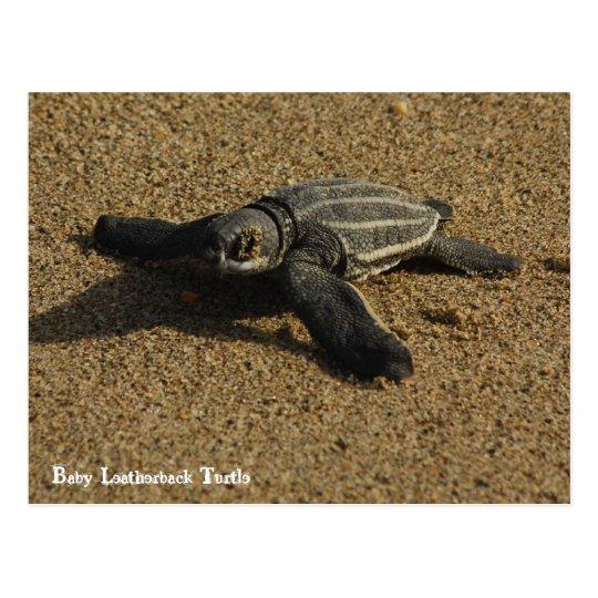 Baby Leatherback Turtle Postcard