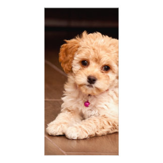 Baby Maltese poodle mix or maltipoo puppy dog Photo Greeting Card