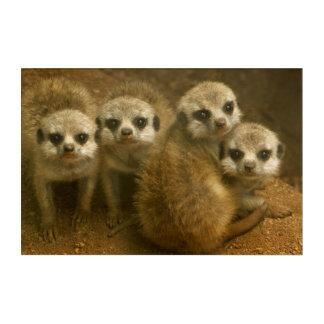 Baby meerkats acrylic wall art
