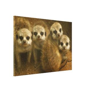 Baby meerkats canvas print