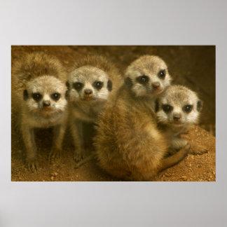 Baby meerkats poster