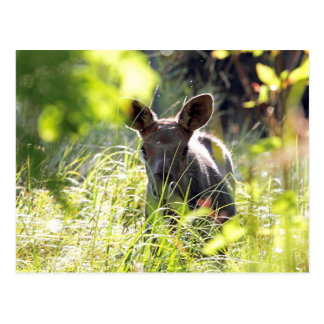 Baby Moose Postcards