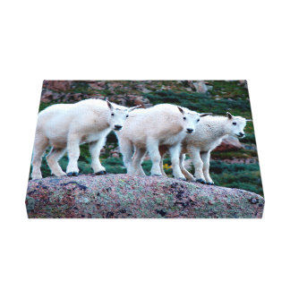 Baby Mountain Goat Canvas Print