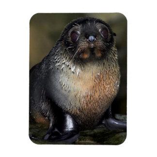 Baby New Zealand Fur Seal Rectangular Photo Magnet