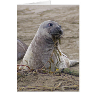 Baby Northern Elephant Seal Card
