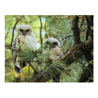 Baby Owls Postcard