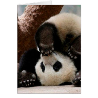 Baby pandas playing - baby panda  cute panda card