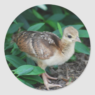 Baby Peacock Chick Sticker