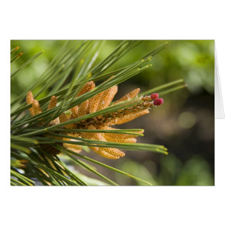 Baby Pine Cones on branch Greeting Card