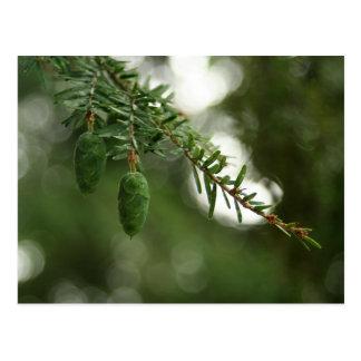 Baby Pine Cones Postcard