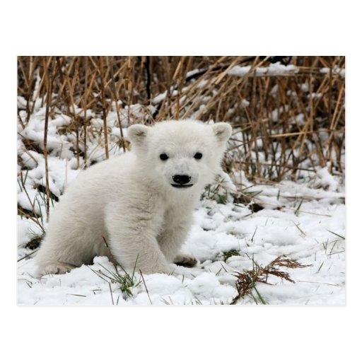 Baby Polar Bear Post Card
