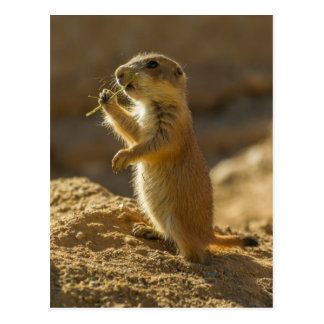 Baby prairie dog eating, Arizona Postcard